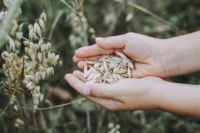 harvest, oat grains