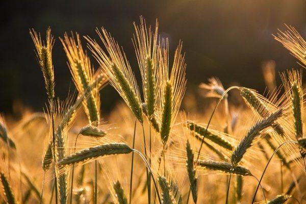 Harvest - thank Lugh for grain!
